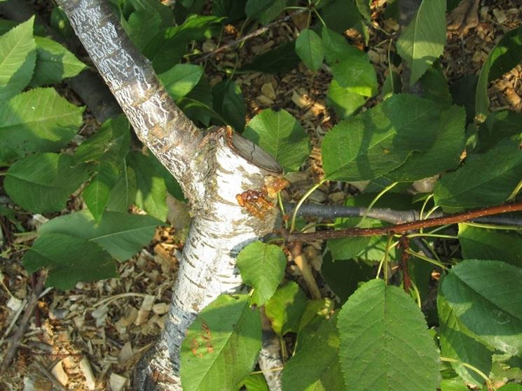 pruning apricots