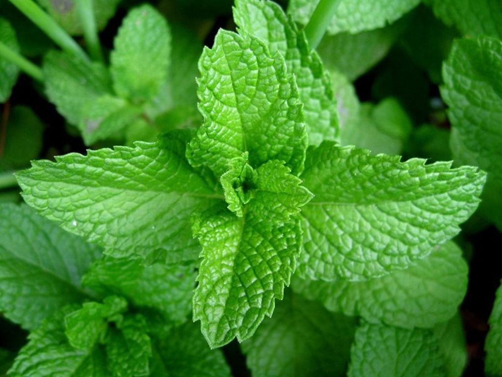 You need to collect lemon balm for drying before it blooms in May-June.
